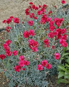 Dianthus 'Eleanor's Old Irish'