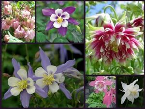 Aquilegia (Columbine) Collection - 6 plants