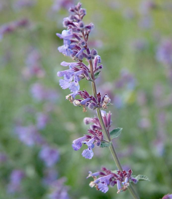 Buy Nepeta Six Hills Giant: Delivery by PlantstoPlant.com
