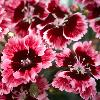 Dianthus Cherry Burst