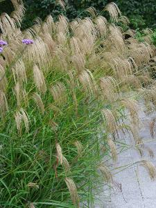 Buy Miscanthus nepalensis
