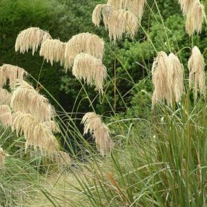 Cortaderia richardii - Austroderia richardii