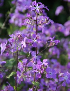 Lunaria 'Corfu Blue' - Perennial Blue Flowered Honesty!