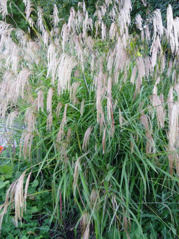 Ornamental grass flowering 12 plant collection plants for Ornamental grass border plants