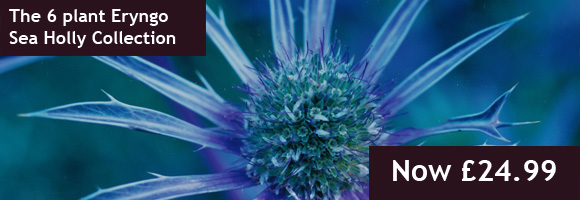 The Eryngo Sea Holly 6 plant Collection