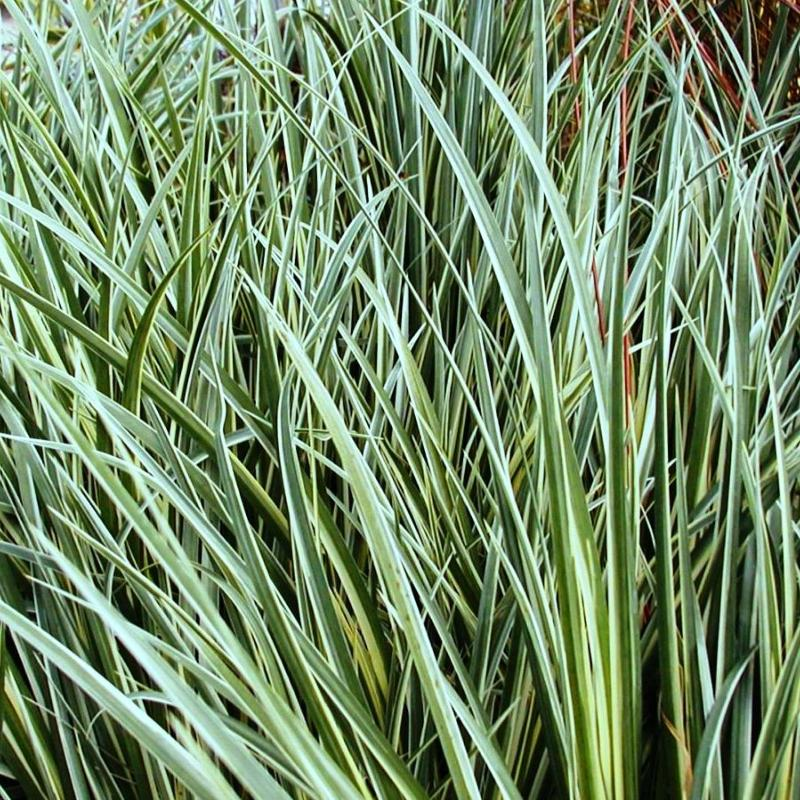 Ornamental grass 12 mixed variety collection plants to for Ornamental grass plants