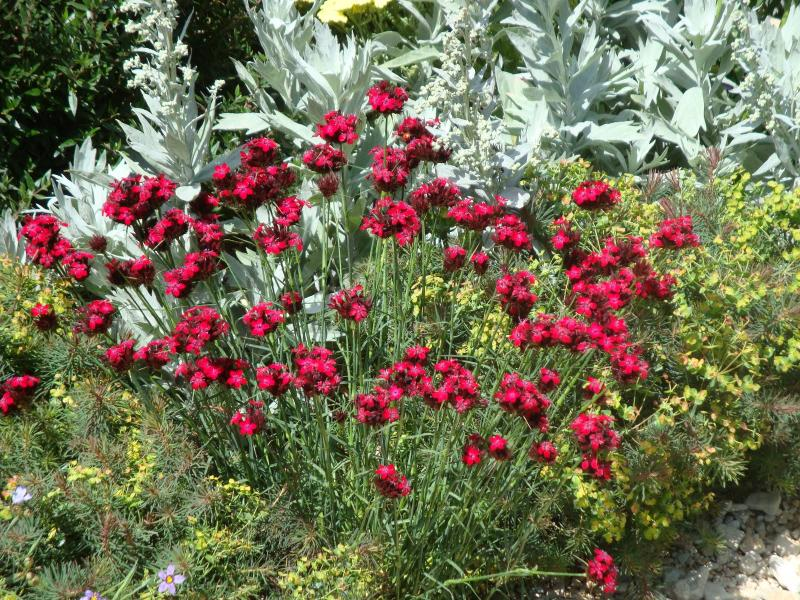 Buy dianthus cruentus delivery by for Plants to grow in garden