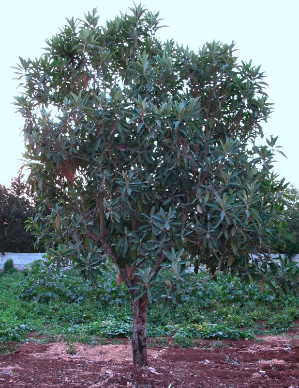 Buy loquat eriobotrya japonica delivery by for Short evergreen trees