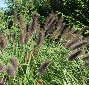 Ornamental Grass 12 flowering plant collection