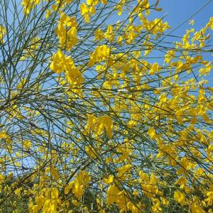 Genista aetnensis - Mount Etna Broom