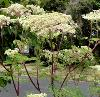 Humble Umbels - The Architectural 6 Plant Collection