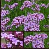 Verbena bonariensis (AGM) - 3 potted plants