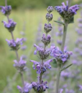 Nepeta curviflora – Syrian Catmint
