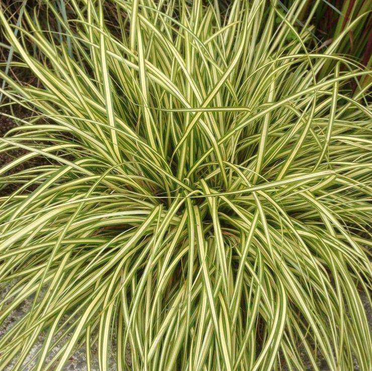 Picture of Live Japanese Sedge aka Carex oshimensis 'Evergold' Plant Fit 1 Gallon Pot