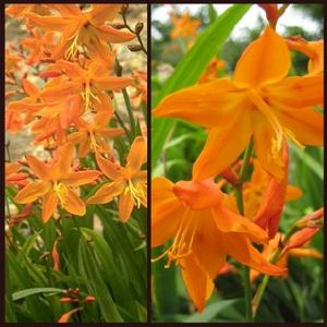 Crocosmia Star of the East