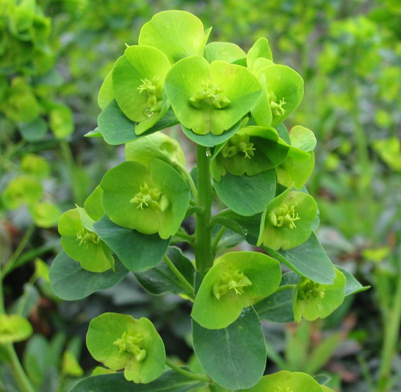 Green Flowers Euphorbia Robbiae Delivery By Plantstoplant