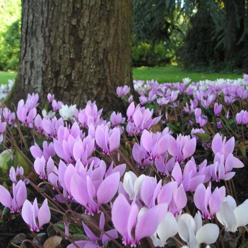 Buy Cyclamen hederifolium 'Fairy Rings'