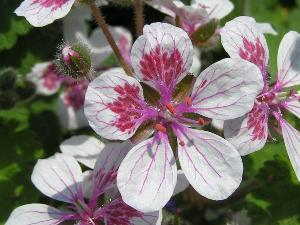 Erodium pelargoniflorum 'Sweetheart'