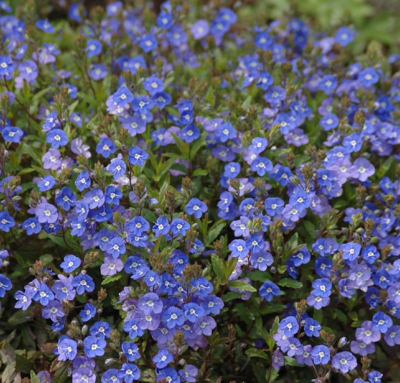 Buy veronica umbrosa georgia blue delivery by plantstoplant veronica umbrosa georgia blue mightylinksfo