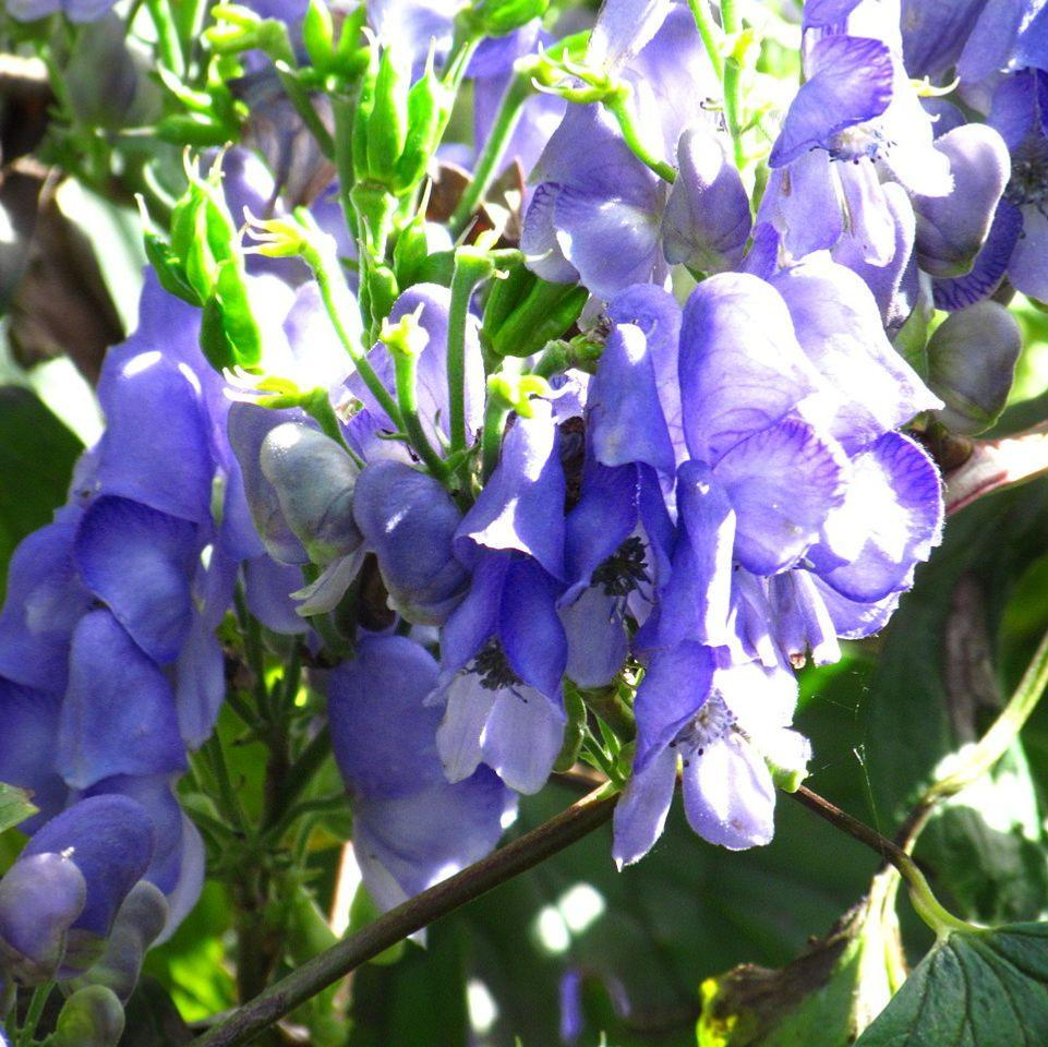 Plants with blue or violet colour flowers to plant buy direct from aconitum hemsleyanum climbing monkshood izmirmasajfo Choice Image
