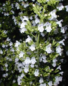 Calamintha nepeta White Cloud