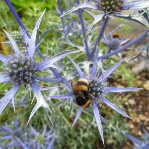 Eryngium bourgatii Oxford Blue