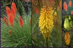 Kniphofia Red Hot Poker Collection - 6 varieties.