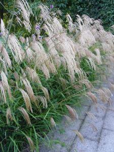 Ornamental Grass 6 flowering variety collection