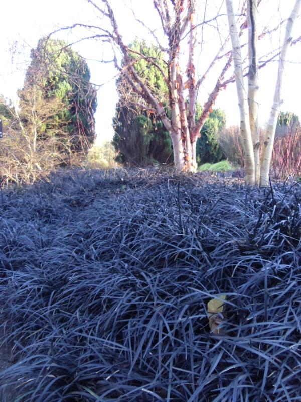 Pictures Of Ornamental Grass Ornamental grass 6 evergreen variety collection plants to plant ornamental grass 6 evergreen variety collection workwithnaturefo