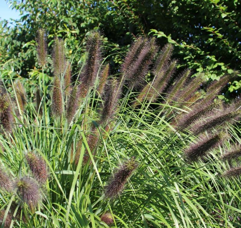 Ornamental grass flowering 12 plant collection plants for Ornamental grass plants