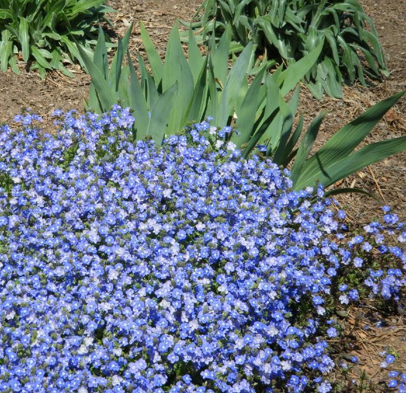 Low ground cover blue flowers round designs low ground cover blue flowers round designs mightylinksfo