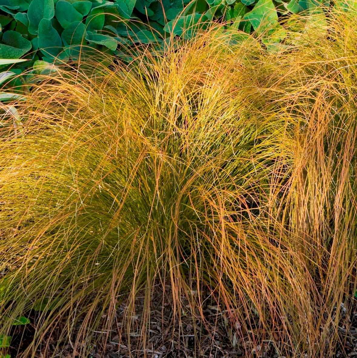 Picture of Live Orange New Zealand Sedge aka Carex testacea Plant Fit 1 Gallon Pot
