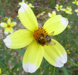 Bidens 'Hannay's Lemon Drop'