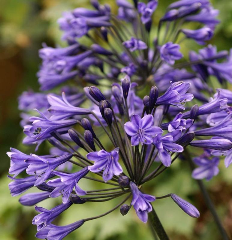 Buy Agapanthus Headbourne Hybrids Delivery By