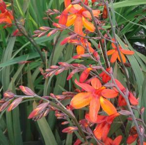 Buy Crocosmia 'Saracen'