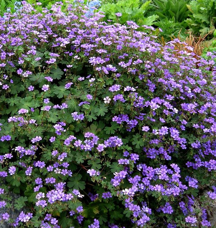 small Perennial Flowering Plants 28 Images Small