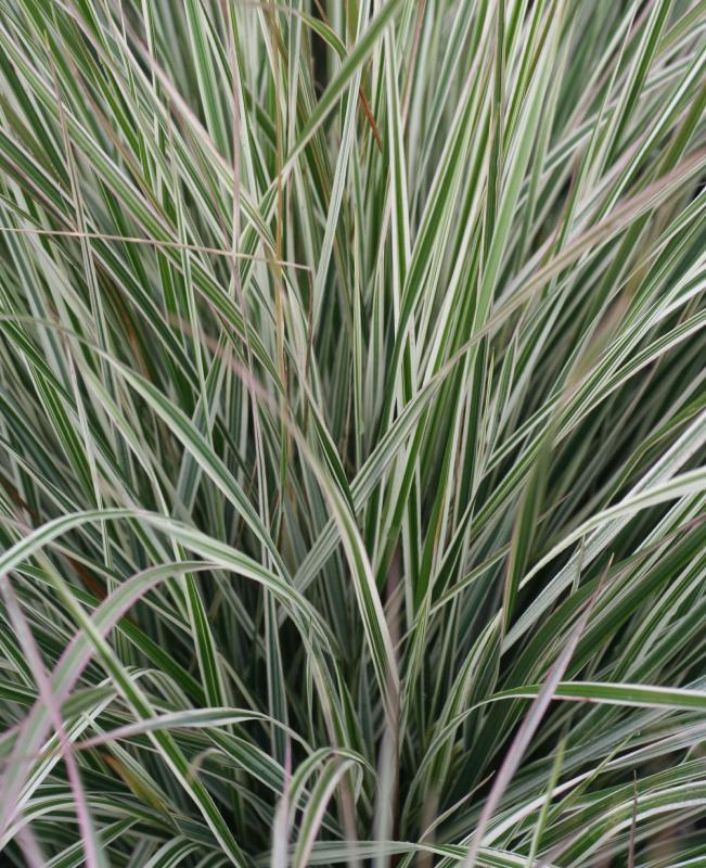 Ornamental grass flowering 12 plant collection plants for Variegated ornamental grass