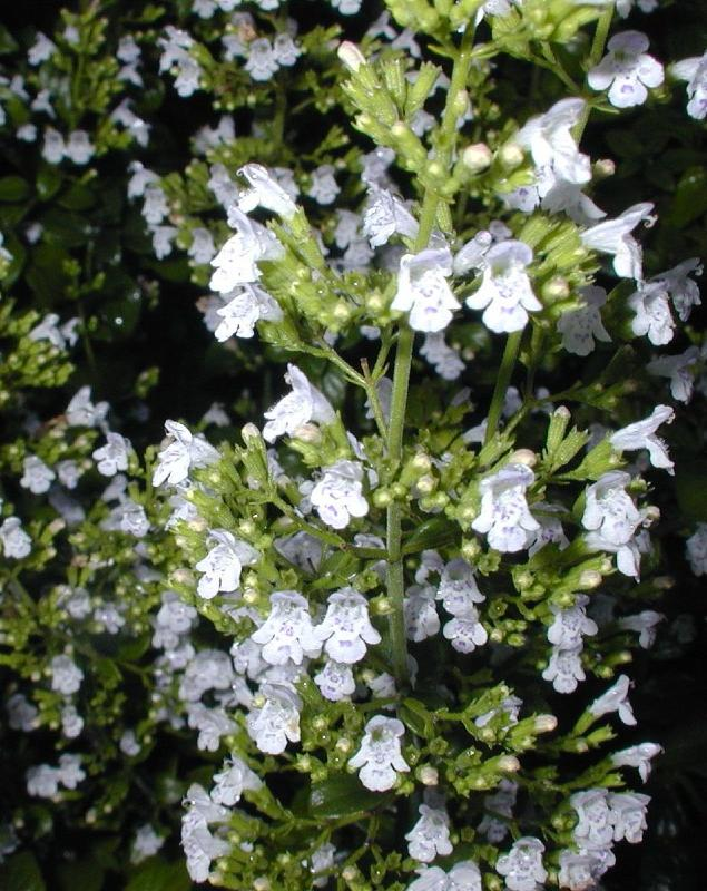 Buy Calamintha Nepeta White Cloud Delivery By Plantstoplantcom