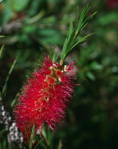 Callistemon subulatus Crimson Tail