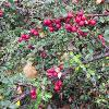 Cotoneaster prostratus 'Arnold-Forster'