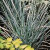 Elymus magellanicus Blue Sword