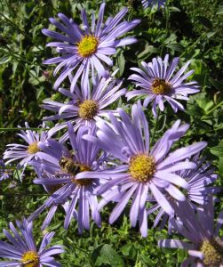 Aster frikartii Monch (AGM)