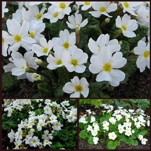 Primula snow mound schneekissen plants to plant from plantstoplant primula snow mound schneekissen a delightful small variety with the purest white flowers and a delicious scent a delightful little plant and so easy to mightylinksfo