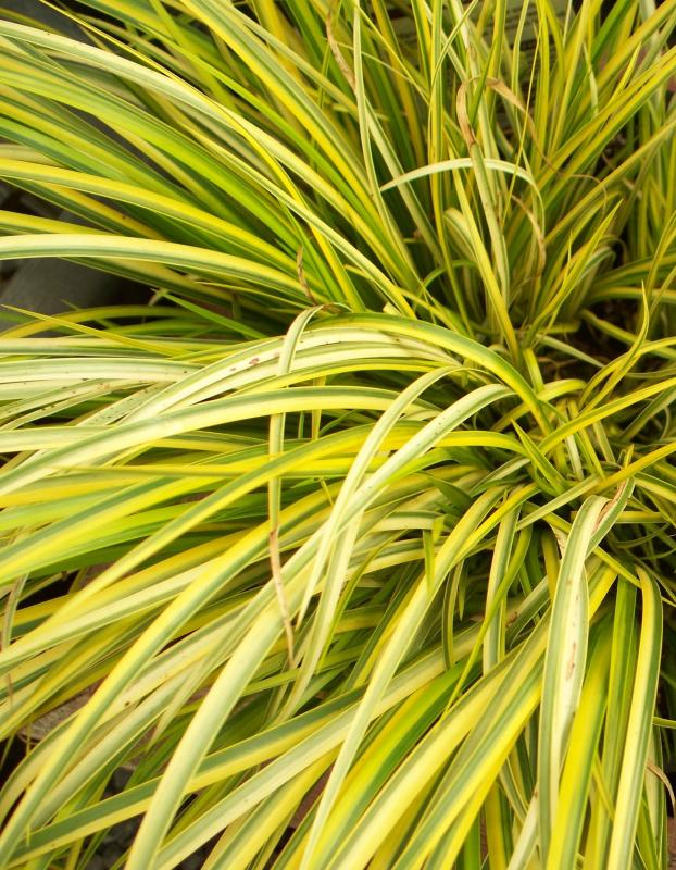 Buy acorus gramineus 39 ogon 39 delivery by for Ornamental grass with yellow flowers