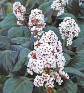 Bergenia Collection - 3 Top Plants