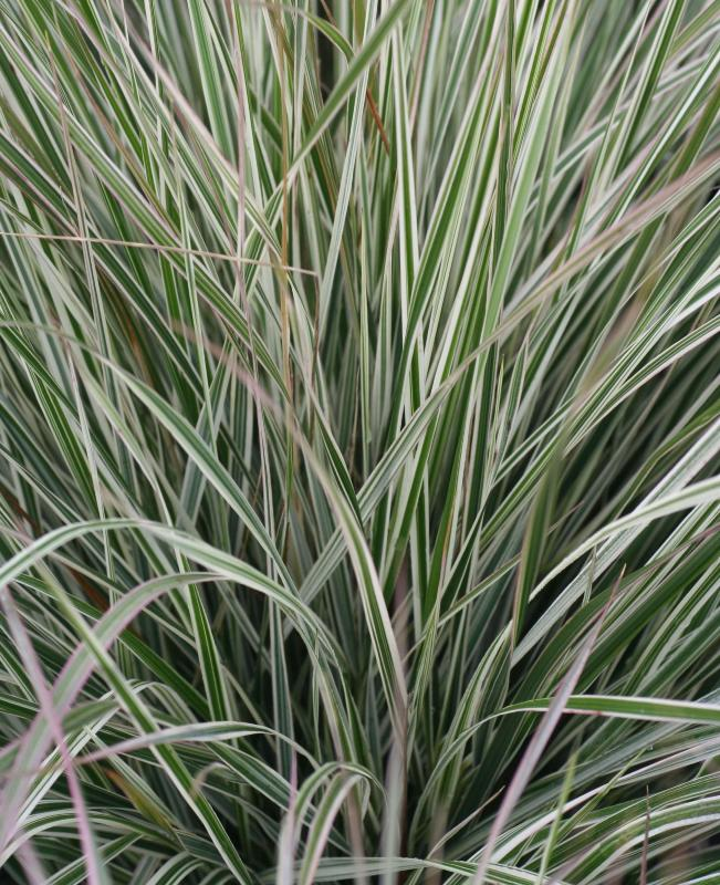 Buy calamagrostis acutiflora 39 overdam 39 delivery by for Long ornamental grass