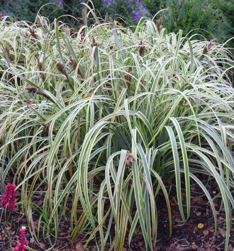 Ornamental grass 6 evergreen variety collection plants for Ornamental grass plants