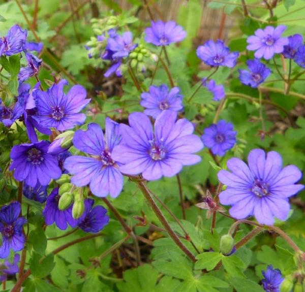 Buy Geranium 'Bill Wallis'