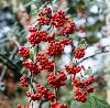 Cotoneaster hylmoei