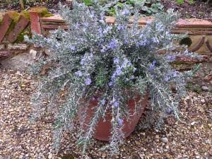 Rosmarinus officinalis 'Whitewater Silver'